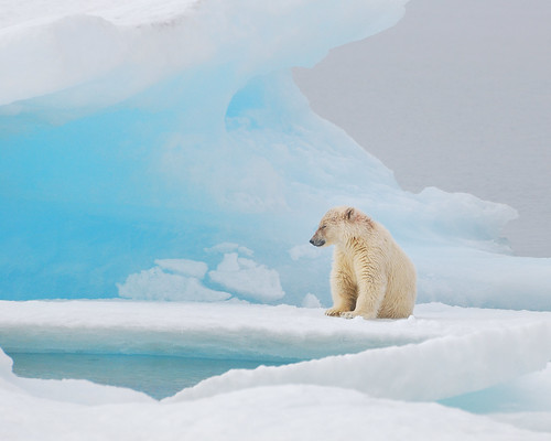 Polar Bear ready for a nap.  Resolute Bay, Nunavut.