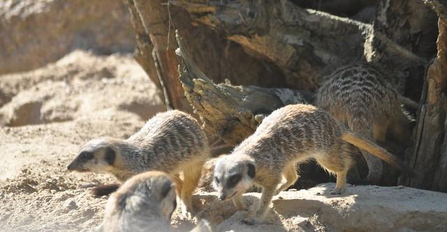 Evening Meerkats