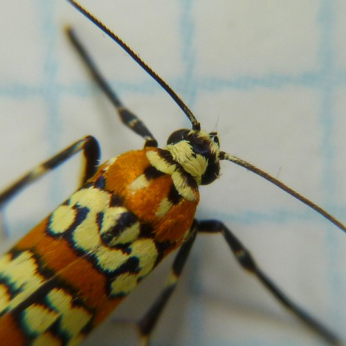 Ailanthus Webworm Up Close