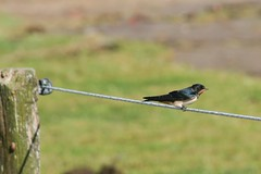 Barn Swallow (ivlys) Tags: summer vacation bird northsea barnswallow nordsee hirundorustica vogel saltmeadow rauchschwalbe ivlys inseljuist wattwiesen islandjuist