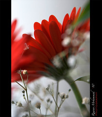 RED FLOWER (Rawan Mohammad ..) Tags: flowers red roses flower rose photography nikon photographer photos australia brisbane mohammed saudi arabia tamron mohammad 2010 rn  rawan        d300s rnona     almuteeb