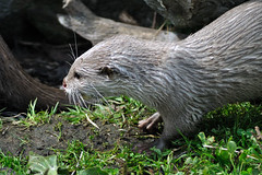Short Claw Otter (Eriena) Tags: blue asian aquarium august chester claw short otter planet oriental 2010 asiansmallclawedotter smallclawed aonyxcinerea orientalsmallclawedotter shortclaw