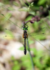 for the dragonflyman (nereis*01*) Tags: canada nature closeup dragonflies dragonfly greeneyes easternontario odonata