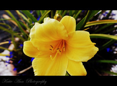 Yellow Beauty for just a day (♥ Katie ann. Off more than on.) Tags: photographyrocks amazingdetail flicksawesomeblossoms handselectedphotographs abovealltherestandsimplythebest asbeautifulasyouwant fleursetpaysages