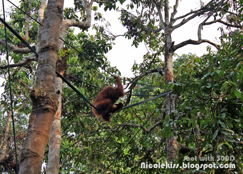 orang utan on ropes