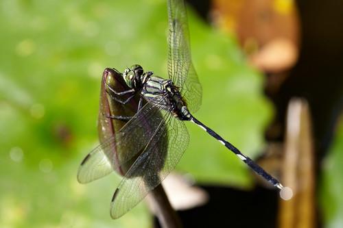 Orthetrum melania 杜松蜻蜓