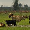 Bos domesticus - Heckrund - Heck Cattle (Ed Steenhoek) Tags: reddeer lelystad oostvaardersplassen cervuselaphus edelhert heckrund heckcattle bosdomesticus