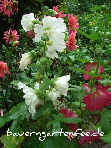 Stockrosen und Dahlien im Vorgartenbeet
