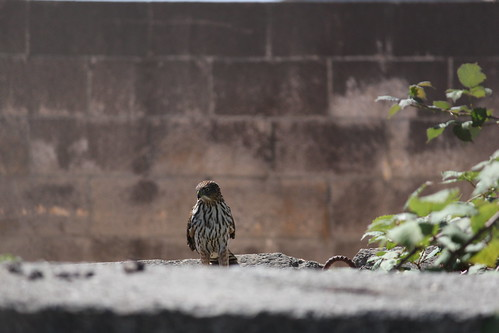 A marsh hawk, a small hawk with striped markings, sitting on a concrete piling.