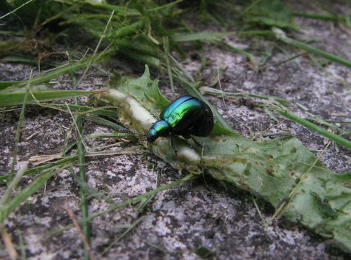 Beetle after cutting grass