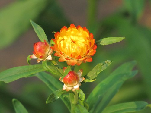 Strawflower bud