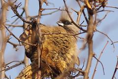 Braunflügel-Mausvogel, NGID601655570 (naturgucker.de) Tags: southafrica johannesburg coliusstriatus naturguckerde sdafrika candreasschfferling braunflgelmausvogel ngid601655570