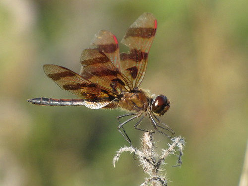Dragonfly with a clipped wing