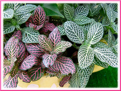 Fittonia albivenis (the green-leaved F. verschaffeltii var. argyroneura 'Nana' and the pink-veined leaf variety that is unidentified as yet)