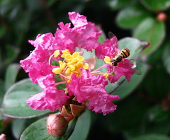 Oh So Tiny (jrix) Tags: macro garden insects flies shrubs quotation pictureperfect hoverflies aug10 floweringshrubs syrphidflies flowerflies crapemyrthe