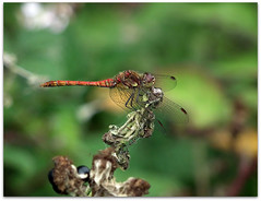 Common darter on brambles! (macfudge1UK) Tags: uk summer england nature fauna bug insect flora europe dragonfly wildlife ngc lakeside sos brambles oxfordshire 2010 oxon odonata iloveit naturesfinest commondarter stantonharcourt sympetrumstriolatum allrightsreserved hs10 mywinners countryfile naturethroughthelens saariysqualitypictures newgoldenseal lttf fujifilmfinepixhs10 fujihs10 rspblovenature bbcnatureuksummerwatch