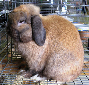 rabbit lop eared