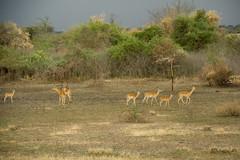 genus: Aepyceros. Impalas - Serengeti National Park, Tanzania