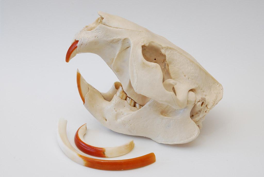 Beaver Skull (1)