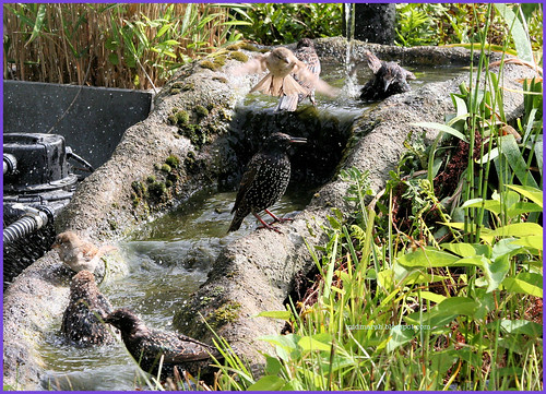 Birds at the Pond Waterfall 3