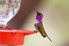 IMG_2899 Male Lucifer Hummingbird (lois manowitz) Tags: arizona birds hummingbirds