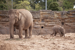 Elephant and baby elephant (Mark Carline) Tags: camera colour digital canon eos zoo cheshire chester dslr ff babyelephant 5dmarkii 5d2 5dmkii 5dmk2 5dmark2 gupr