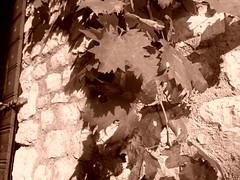 Di una porta chiusa (Eine-reise) Tags: plants macro nature sepia natura fiori piante seppia sermoneta macroscene