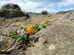 (H.L. Edwards) Tags: hawaii maui wildflowers 2010 nakaleleblowhole kahekilihighway