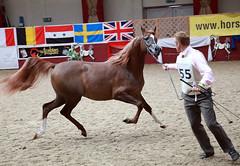 Towerlands 2010 UKIAHS (pg tips2) Tags: show summer horses horse international arab ponies arabian aug 2010 equus arabs arabians  equines towerlands arabhorse arabhorses  towerlands2010ukiahs arabianlines arablines