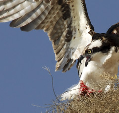 Osprey Defense (Sharpeyesonline) Tags: california county fish nature photography wings san eating diego coastal prey screaming raven defensive osprey avian birdofprey attacking harassing pirating pandionhaliatus avianphotography corbina willjamessooter wwwsharpeyesonlinecom feedingperch
