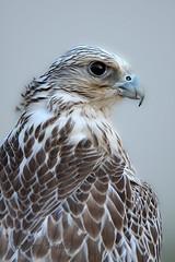 Barlin  7/8 (sahoodvich) Tags: life wild bird sport canon fly flight falcon kuwait  khaled          barlin        gyer           sahoodi   sahoodvich   alhawedi