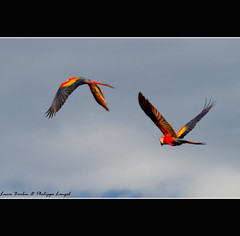 Couple d'aras rouges en vol - Corcovado National Park - Costa Rica (Lucie et Philippe) Tags: voyage trip travel bird birds america nationalpark costarica wildlife central corcovado oiseau ara oiseaux lasirena centrale scarletmacaw osapeninsula amrique tripleniceshot