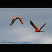 Couple d'aras rouges en vol - Corcovado National Park - Costa Rica