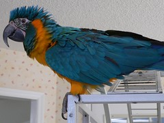 Look, I'm Don King (RLBrinkman~in and out-mostly out) Tags: birds grey aviary macaw pars parrots