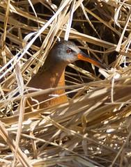 Virginia Rail (Phil Armishaw) Tags: county wild copyright ontario canada birds virginia phil rail 2011 haldimand armishaw