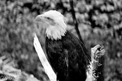 Bald Eagle (Rick Crocker) Tags: monochrome baldeagles louisvillezoo d3100