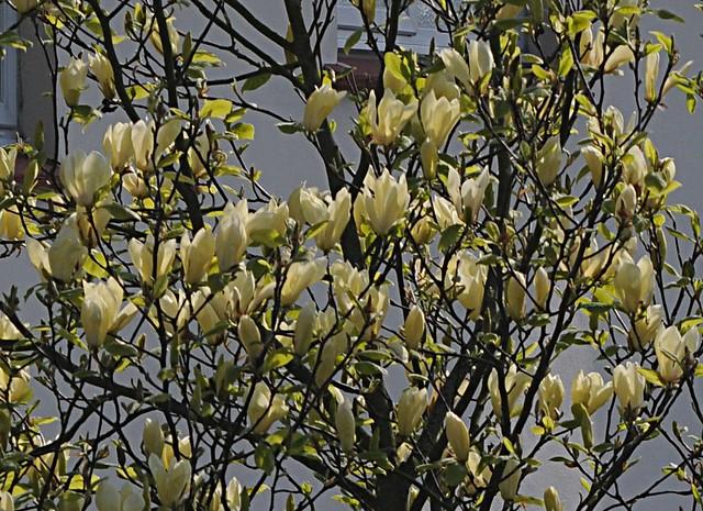 yellow magnolia2