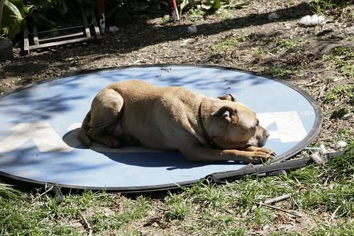 Sunning pit bull.