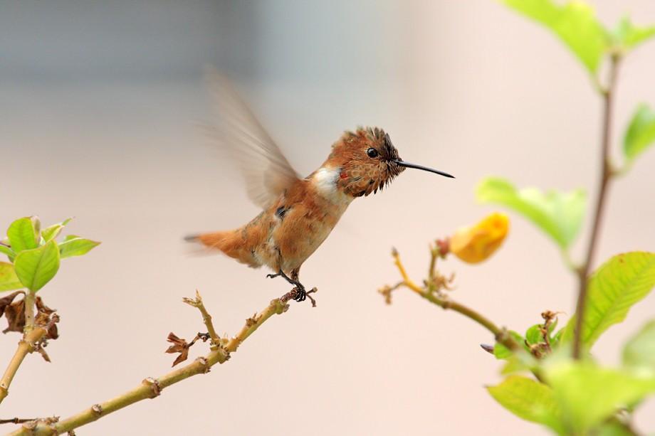 Allen's Hummingbird 07071-2