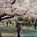 公園の満開桜