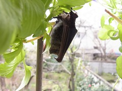アブラコウモリ Japanese Common Pipistrelle