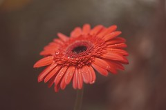 Gerbera (vanila balaji) Tags: redflower gerbera helios vintagelens canon canon6d 6dwithhelios vanila vanilabalaji