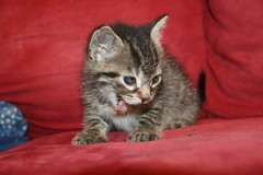 24/365/3311 (July 5, 2017) - It's Kitten Season! Cats and Kittens at Crafty Cat Rescue (Ann Arbor, Michigan) - Wednesday July 5th, 2017 (cseeman) Tags: cats pets craftycatrescue annarbor michigan shelter adoption catshelter catrescue caring animals craftycatphotos07052017 kittens 2017project365coreys yeartenproject365coreys project365 p365cs072017 356project2017