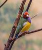 Gouldian Finch (kmanoh) Tags: gouldian finch gouldianfinch usa unitedstates america northamerica northeast newengland massachusetts ma boston franklinparkzoo zoo zoonewengland nikon d810 animals