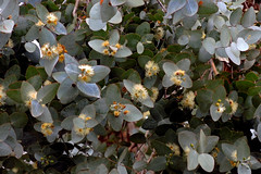Eucalyptus shirleyi, Shirley's Ironbark (AlfredSin) Tags: alfredsin australianflowers australianplants australiantrees australiannativeplants australiannativeflowers australiannativetrees nikonp7800 waverleybushwalkingclub walk bushwalking shirleyssilverleafedironbark eucalyptus eucalyptusshirleyi