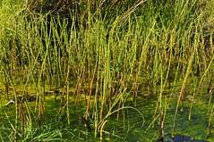 Sumpfpflanzen im Colsrakmoor - Teich-Schachtelhalm (Equisetum fluviatile); Meggerdorf, Stapelholm (5) (Chironius) Tags: meggerdorf stapelholm schleswigholstein deutschland germany allemagne alemania germania германия niemcy equisetales schachtelhalmartige equisetaceae schachtelhalmgewächse equisetum schachtelhalme moor sumpf marsh peat bog sump bottoms swamp pantano turbera marais tourbière marécageuse