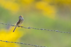 More singing! (Tracey Rennie - away) Tags: flickrcation sechelt gorse sparrow fence barbedwire whitecrownedsparrow bird britishcolumbia singing yellow atthelandfill