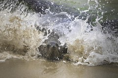Sea Lion in The Surf (charles25001) Tags: sealion pacific sandiego ocean wildlife nature marinemammal