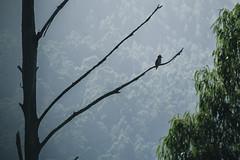 Kookaburra sits in the old gum tree (Crystal Richardson Photography) Tags: kookaburra bird landscape mountains forest highcountry bawbaw tanjil gumtree trees explore adventure bushland canon wildlife animals nature fauna