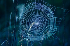 Come in and find out (ursulamller900) Tags: spiderweb spinnennetz pentacon28100 blue tau dew dewdrops morningdew